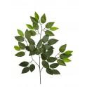 Ficus 42 hojas
